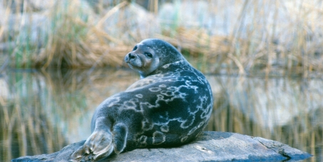 Click to save the world's most endangered seal!