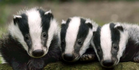 Stop the badger slaughter and save British wildlife