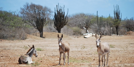 Keep Bonaire's wild donkeys ALIVE!