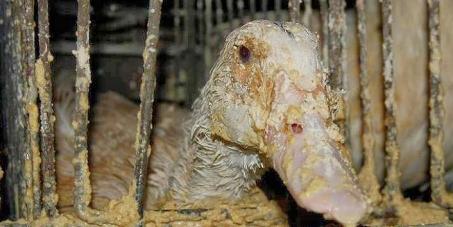 Queremos a proibição da produção e importação de foie gras em todo o território nacional.