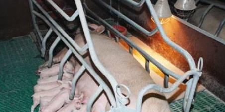 Ministère de l'agriculture: Supprimer l'encagement total des femelles porc dans l'élevage industriel