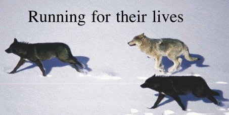Rachel Notley, Premier of Alberta: Stop the inhumane killing of wolves in Alberta.