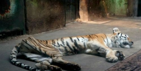Tigers Reduced to Skin and Bones