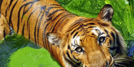Save the Wild Tiger & Forests of Kodagu(Coorg)