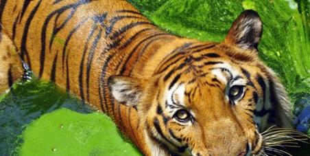 Enregistrez le tigre sauvage et des forêts de Kodagu (Coorg)