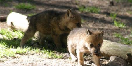 Sauvez les loups