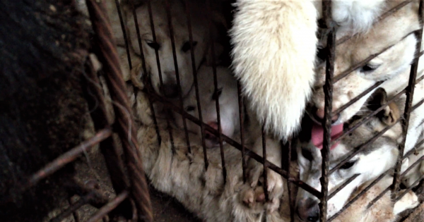 Copenhagen, Tell Friendship City, Seoul, Korea, That We're Opposed to the Torture of Dogs.