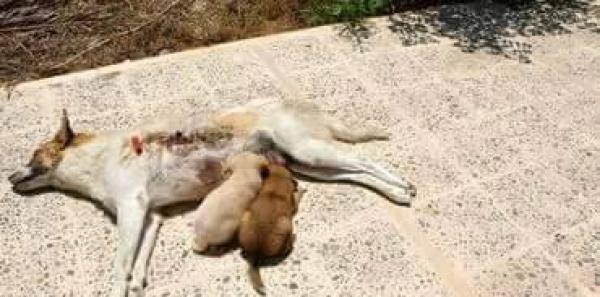 Au gouvernement tunisien: Stop au massacre massif des chiens en Tunisie