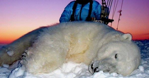 Make Polar Bears trophy hunting illegal in Canada