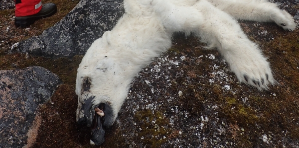 POLAR BEARS, VICTIMS OF POLLUTION IN SPITSBERGEN