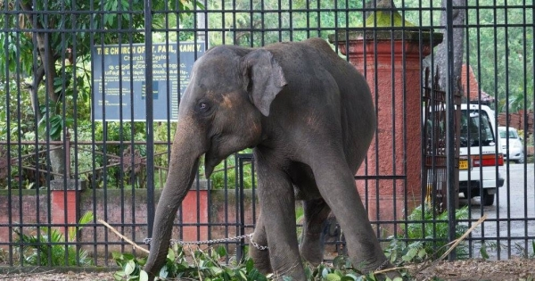 Freedom of thirty three baby elephants robbed : by The President of Sri Lanka, Prime Minister, Min of Wildlife, AGD.