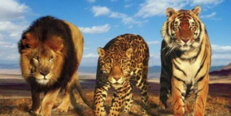 STOP THE VASECTOMY OF TIGERS AND LIONS IN BRAZIL