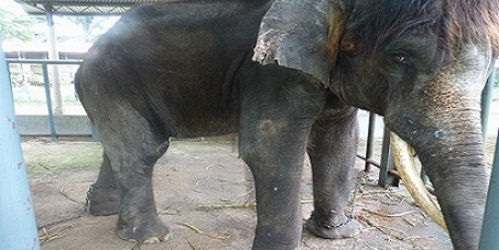 Stop Abuse & Exploitation of Elephants at A'Famosa Resort Malaysia