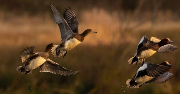 Pour une Agriculture Respectueuse de Nos terres et de Notre santé: Non aux 40000 canards !