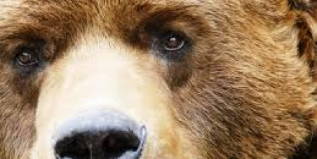 Stop the Massacre of Grizzly Bears in British Columbia, Canada. Stop the Grizzly Bear Hunt