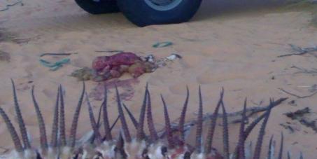 صيد و تهريب غزال الصحراء الجزائري من طرفشيوخ الخليجالى خارج الوطن: STOP au braconnage pratiqué par les émirs du Golf dans le Sahara