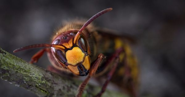 Hornissen und Wespen Schutz Schweiz