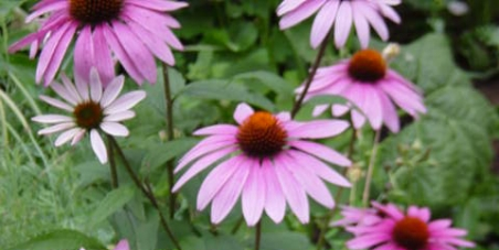 Reverse Decision on Banning Echinacea in Children by the MHRA and the IMB