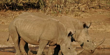 Stop South African Minister of Environmental Affairs, Edna Molewa, from petitioning CITES to open the rhino horn trade