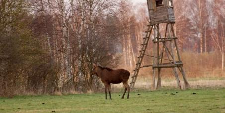 Nie zabijajcie nam łosi! / Save our elks!