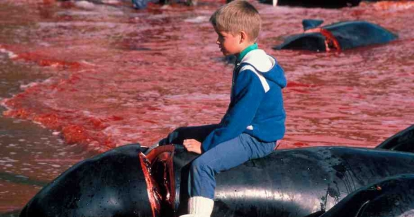 Denmark, State of Faroe Islands: We urgently ask you to stop this Whale Massacre!