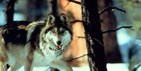 Save the Mexican Gray Wolves from Extinction