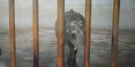 No more baby elephants captured for Chinese zoos!