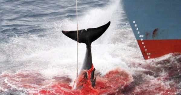 New Zealand and Australian governments: Arrest the Japanese whalers in the Southern Ocean and anywhere they sail.
