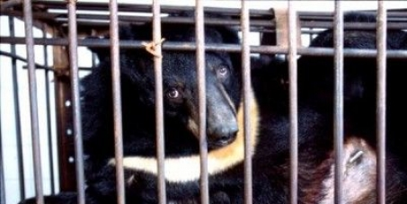 Mr Liu Xiaoming, Chinese Ambassador To The United Kingdom: Stop Torturing Bears: End All Bear Bile Farming In China