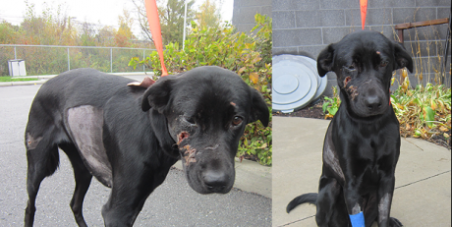 JUSTICE FOR BREEZY (Dog kicked and beaten with a shovel and rake, and tossed in a dumpster in Ottawa, Ontario, Canada)