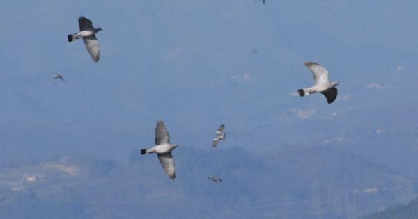 Non au classement nuisible du pigeon ramier en Ardèche