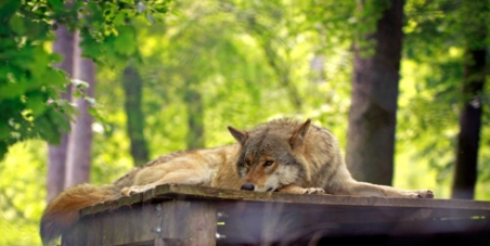Save the Swedish wolves!