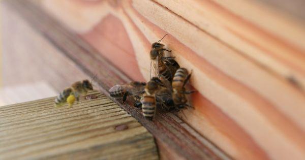 Het Europees parlement.: Maak van de bij een beschermd insect!