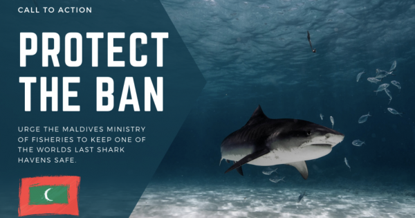 Victory! Ministry of Fisheries, Maldives: Will NOT be lifting the ban on Shark Fishing