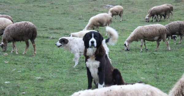 Ουσιαστική Προστασία των Ποιμενικών Σκύλων του Σκλήθρου