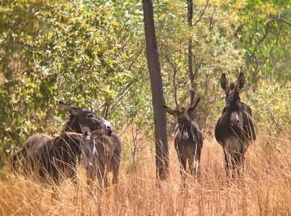 Stop the Killing of Wild Donkeys in Western Australia