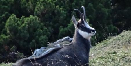 Pétition : stop à la chasse aux chamois et aux mouflons
