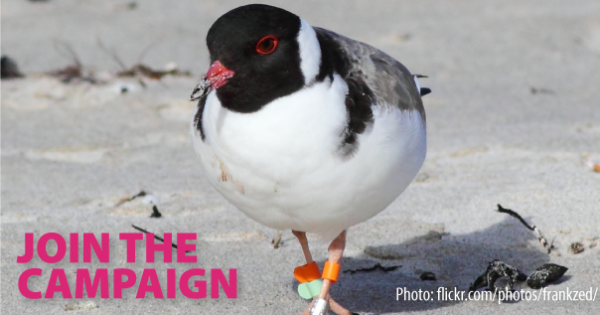 Save the hooded plover from extinction