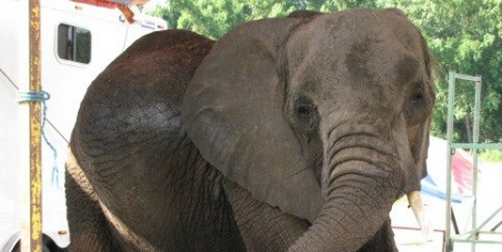 FREE NOSEY THE CIRCUS ELEPHANT-GET HUGO LIEBEL IN JAIL!