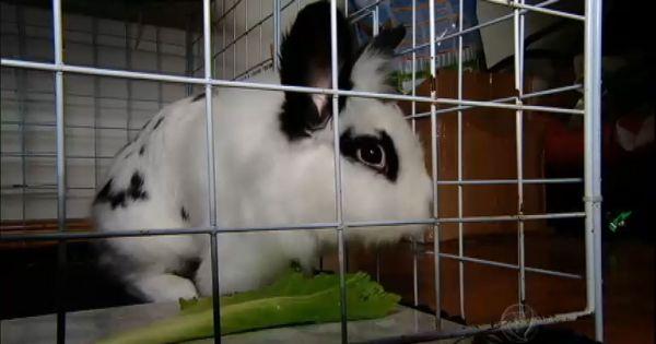 Prefeitura e CDL do município de Brusque, SC.: Não a exibição de coelhos de verdade na Casa do Coelho em Brusque - SC