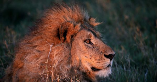 South Africa: Stop cruel lion breeding in its tracks