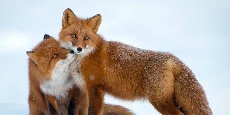 """Madame Ségolène Royale, ministre de l'écologie et du développement durable : Le renard n'est pas un animal """"nuisible"""" ... !"""