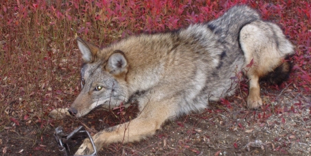 Canada Goose Inc. Stop using fur from Coyotes