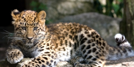 Save the Amur Leopards
