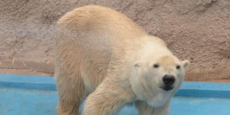 Francisco Pérez: nueva evaluación médica para el oso polar Arturo en el Zoológico de Mendoza.