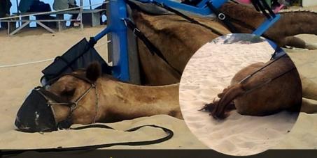 Fim da exploração de Dromedários em Natal-RN • End the exploitation of animals in Natal, Brazil