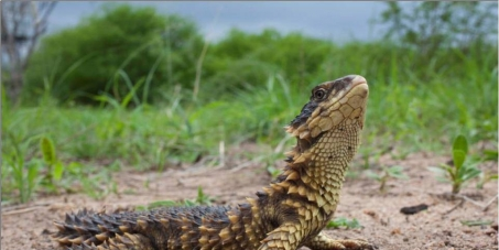 Department of Arts and Culture: Make Sungazers South Africa's national lizard