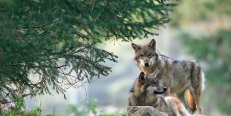 Pas de chasse aux loups en France