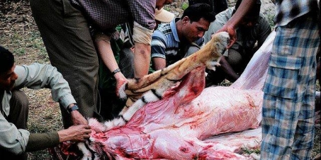 Pour que la chine applique la loi de 1993, pour la fermeture de ferme du tigre. (Stop Farm tiger China)
