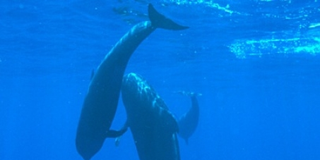 """The Huffington Post Japan "" should publish this report ( Pilot Whales ,mother and baby) of Taiji to the Japanese reader"